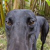 Greyhounds : 25 galleries with 2099 photos
